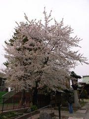 桜神宮の桜